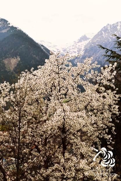 blossoms and mountains in schenna südtirol, trentino
