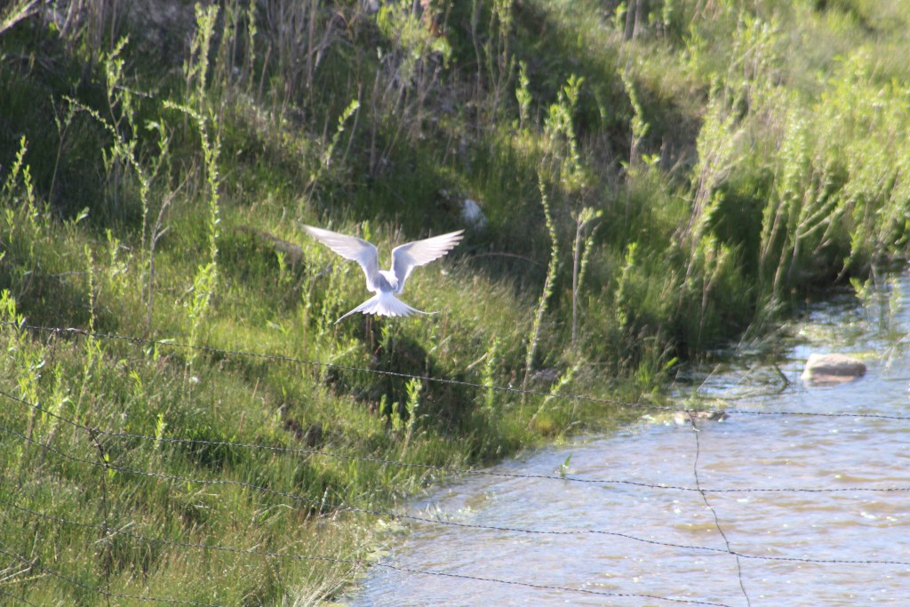 Forster's Tern back view at Scipio Lake