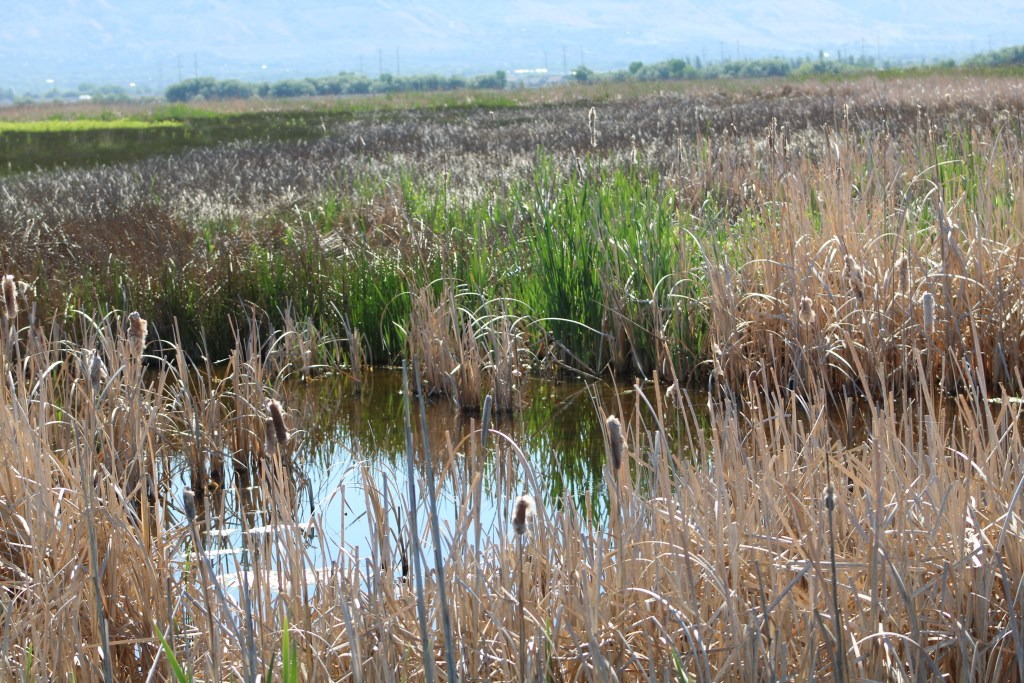 Marsh at Great Salt Lake Shorelands Preserve