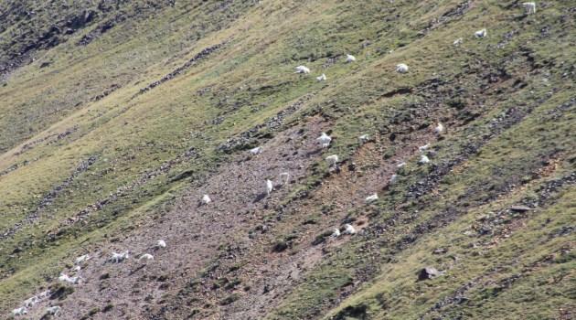 Mountain Goats in Utah