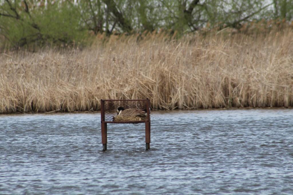 Canadian Goose on nest