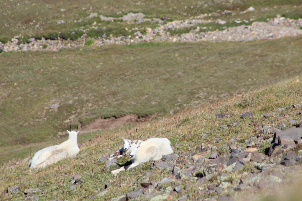 A family of Mountain Goats