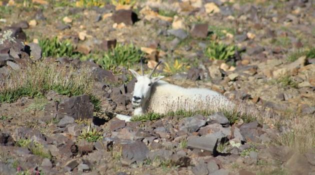 Mountain Goat Utah