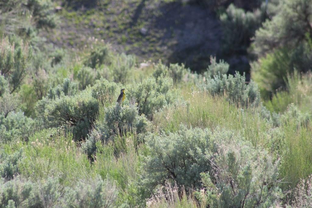 Western Meadowlark Singing in Sagebrush