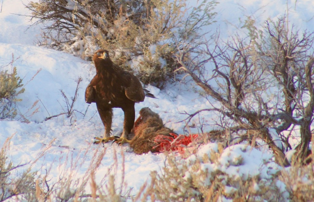 Golden Eagle Standing at Carcass