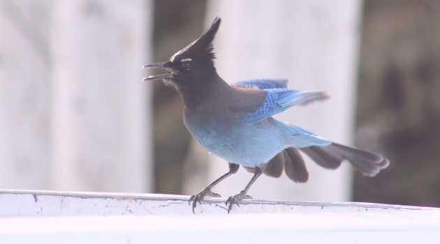 Steller's Jay Squawking