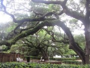 Live oaks and Spanish moss, St. Augustine, Florida