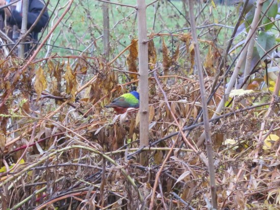 Male painted bunting in Brooklyn