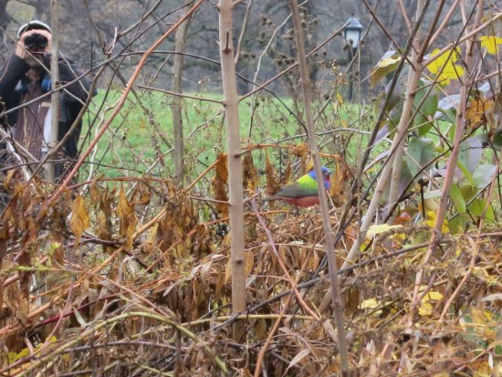 Painted Bunting in Prospect Park - Brooklyn