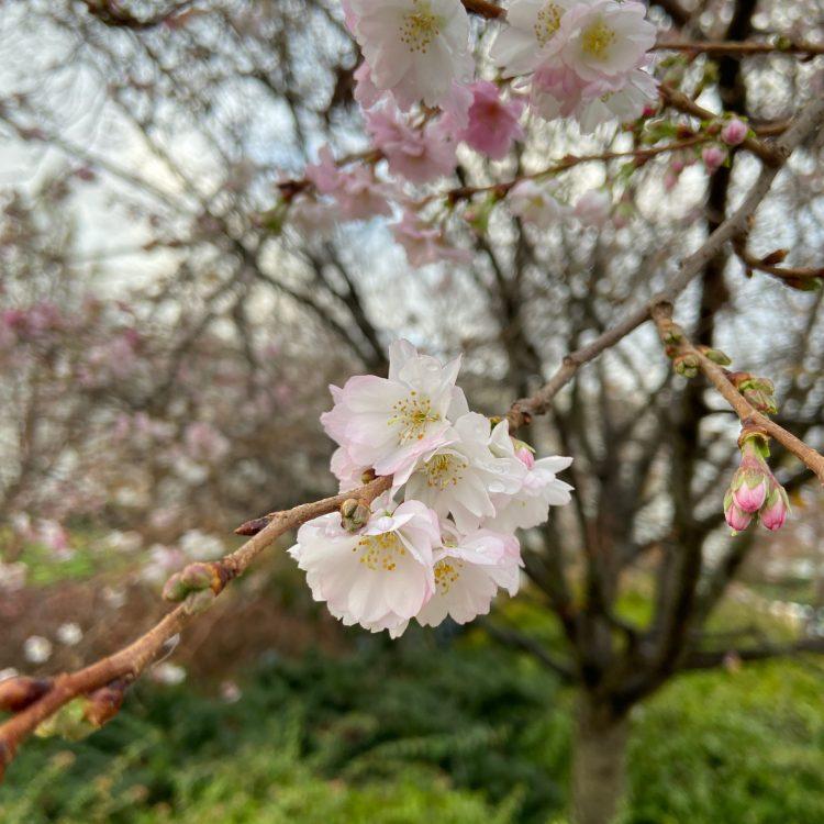 November cherry blossoms