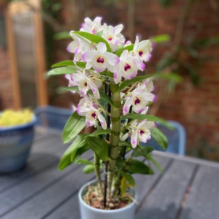 Trader Joe's dendrobium orchid