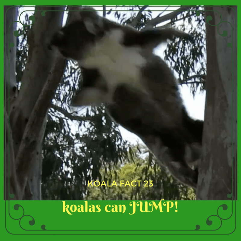 Koalas can jump between tree branches. It takes less energy to move from tree to tree by climbing or jumping across than to get down to the ground and up again.
