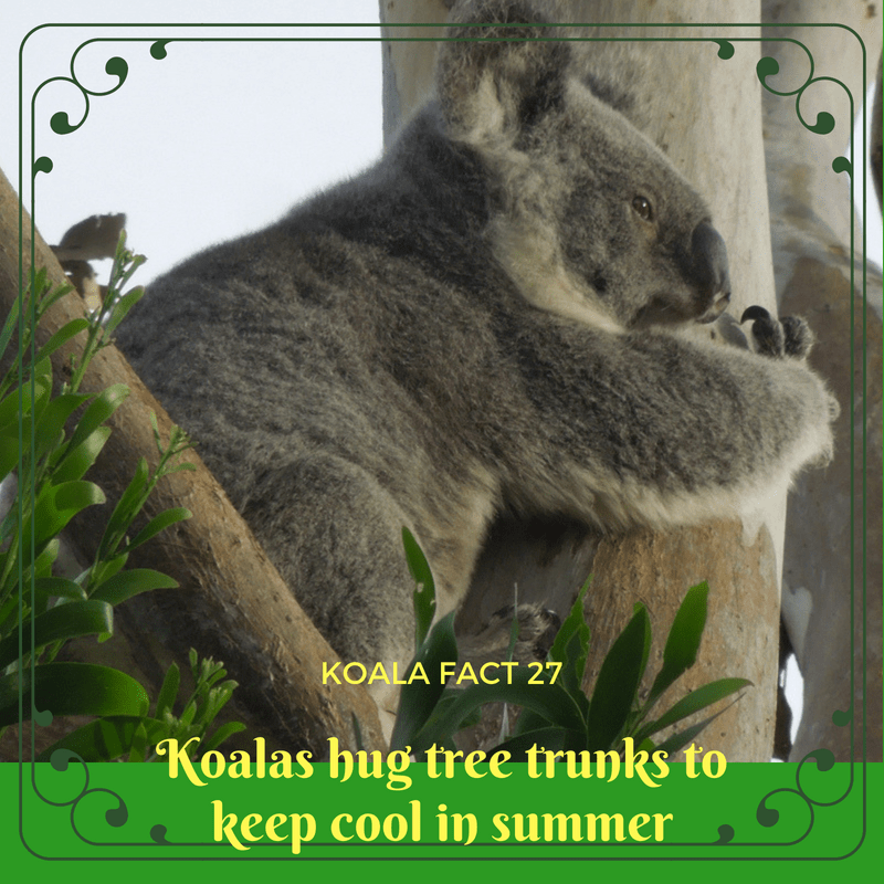 In order to cool down in summer without losing body moisture, koalas hug large tree trunks.