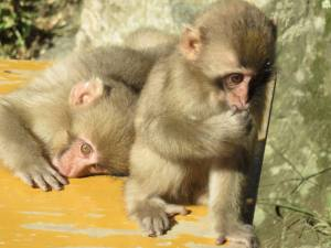 Monkeys in Yamanouchi, Japan