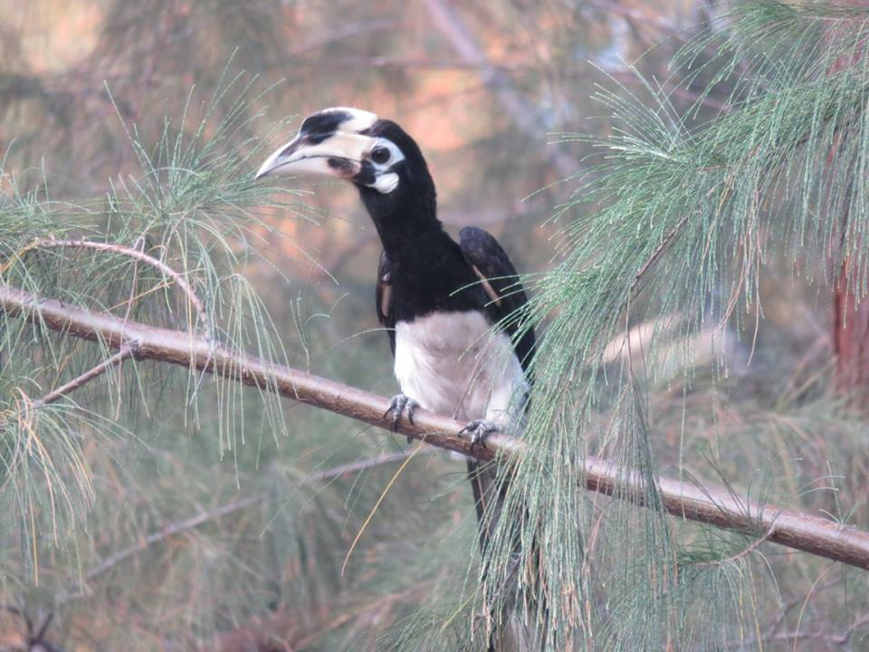 Hornbill in Langkawi, Malaysia