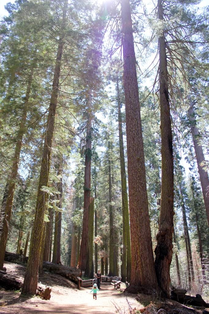 2016-04-19 Yosemite toulumne grove 062