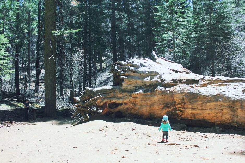 2016-04-19 Yosemite toulumne grove 069