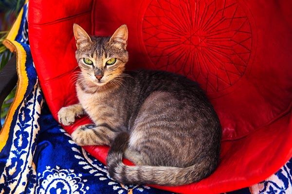 Morocco Cat