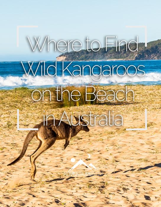 Where to Find Wild Kangaroos in Australia