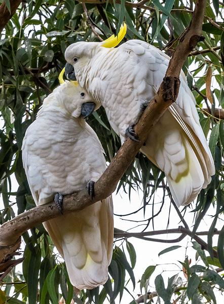 Australia Cockatoo Parrots