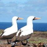 Galapagos Nazca Boobies