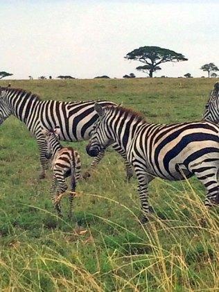 zebra-baby-1