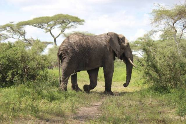 Tanzania Safari Elephante