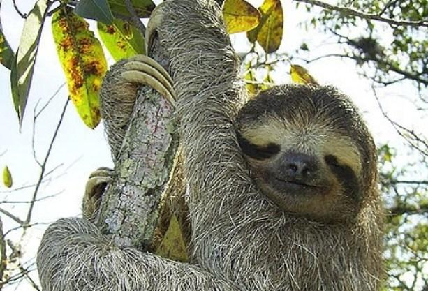 Sloth Amazon