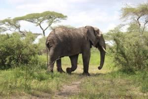 Tanzania Safari Elephant