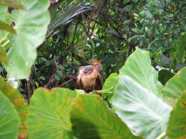 Spied a Huatzan in the Amazon Ecuador