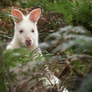 Try to spot an Albino wallaby on our Bruny Island Overnight Tour