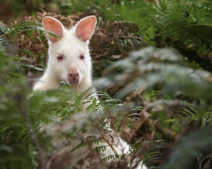 Albino wallaby on Bruny Island