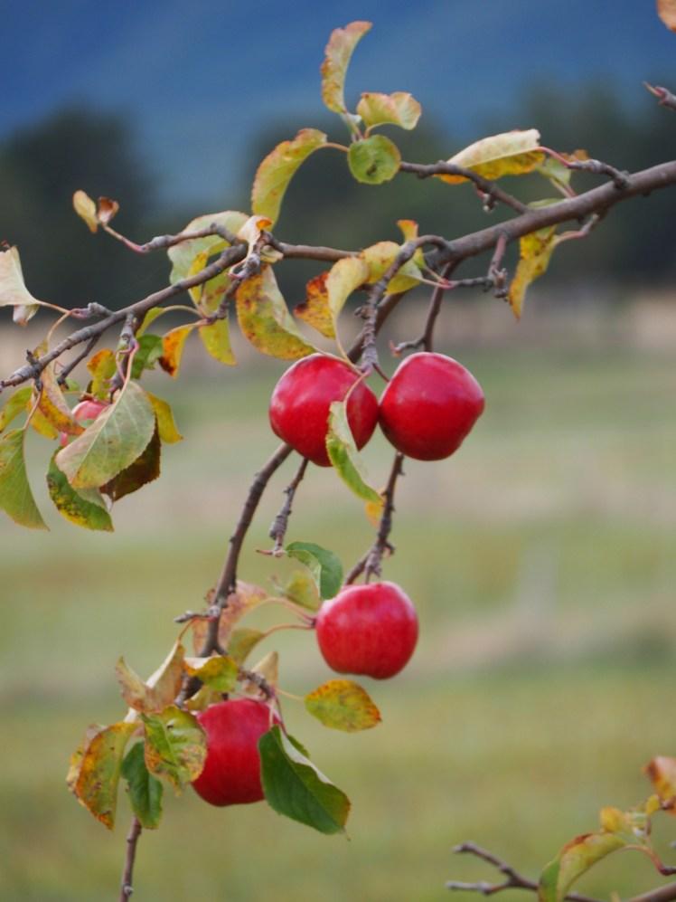 Apples growing in Tasmania's Huon Valley