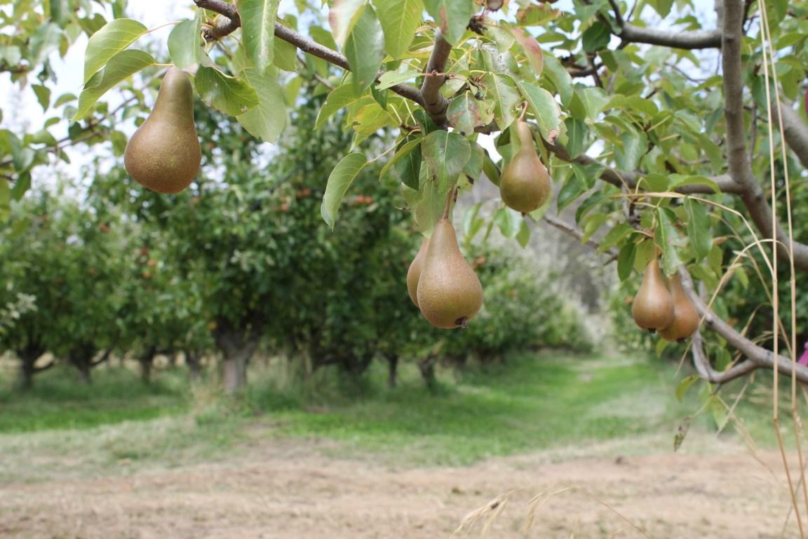 Pears growing in Tasmania's Huon Valley