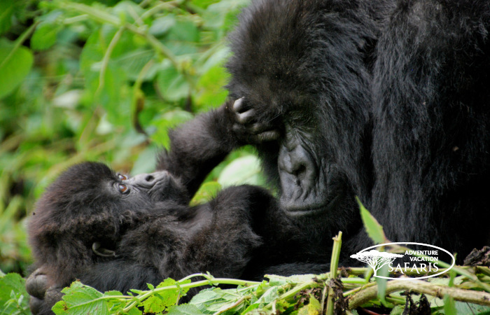 Mother and baby mountain gorillas