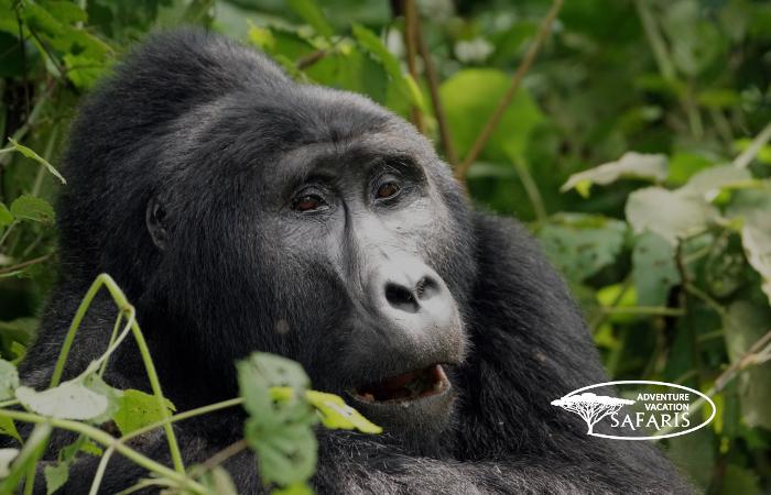 Gazing Mountain Gorilla