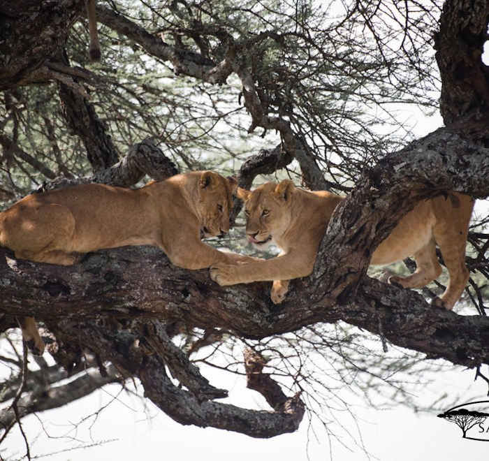 Cuddling lions up on the tree