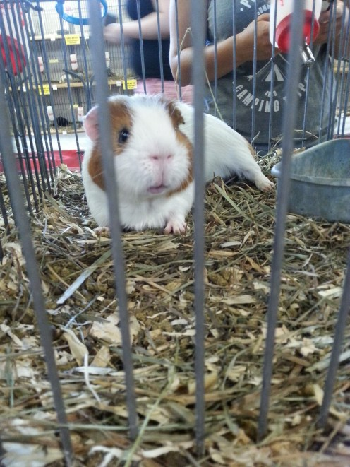A adorable guinea pig in the Poultry and Bunny Barn. On a side note, the Bunny Barn is my favorite building at the Fair. Bunnies are so cute!