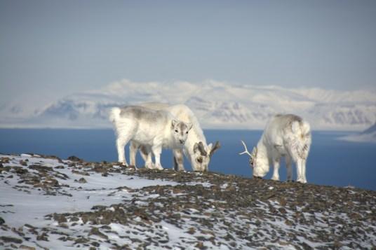 Svalbard raindeer