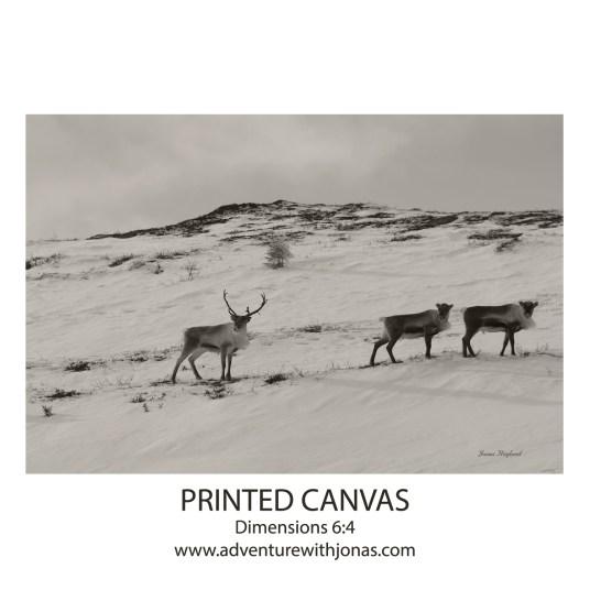 #15 Reindeers in snow