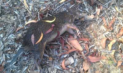 Drowned Marsupial