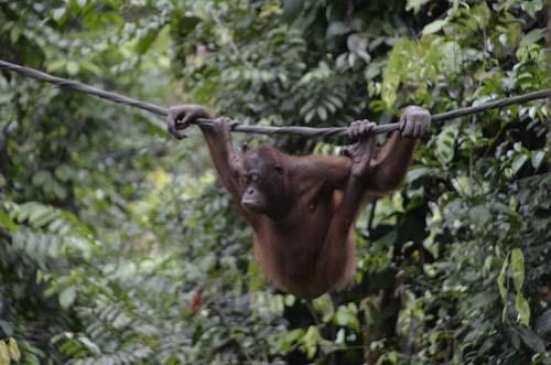 Mellow Orangutan