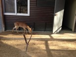 Baby deer. Fawns? Or too old?