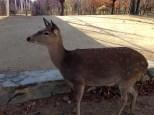 Adult deer.