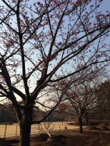 We couldn't tell if these were cherry blossoms. It seemed too early. A friend told us they might be plum trees.