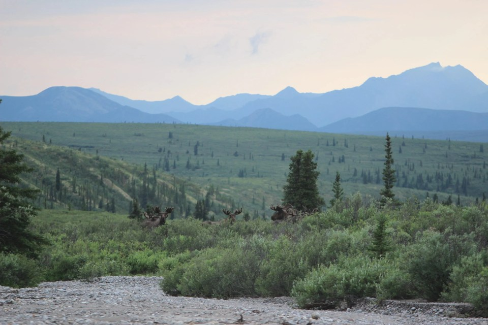 herd of moose in denali national park