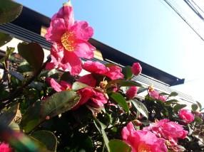 Hibiskusflowers