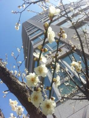 Plumflowers at Yushima shrine
