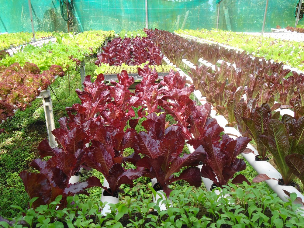 The Organic, Hydroponics Greenhouses of Boquete, Panama (5/6)