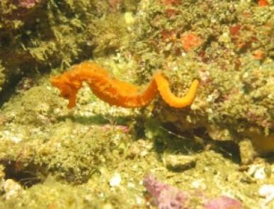 Sea Horse - Diving in Costa Rica